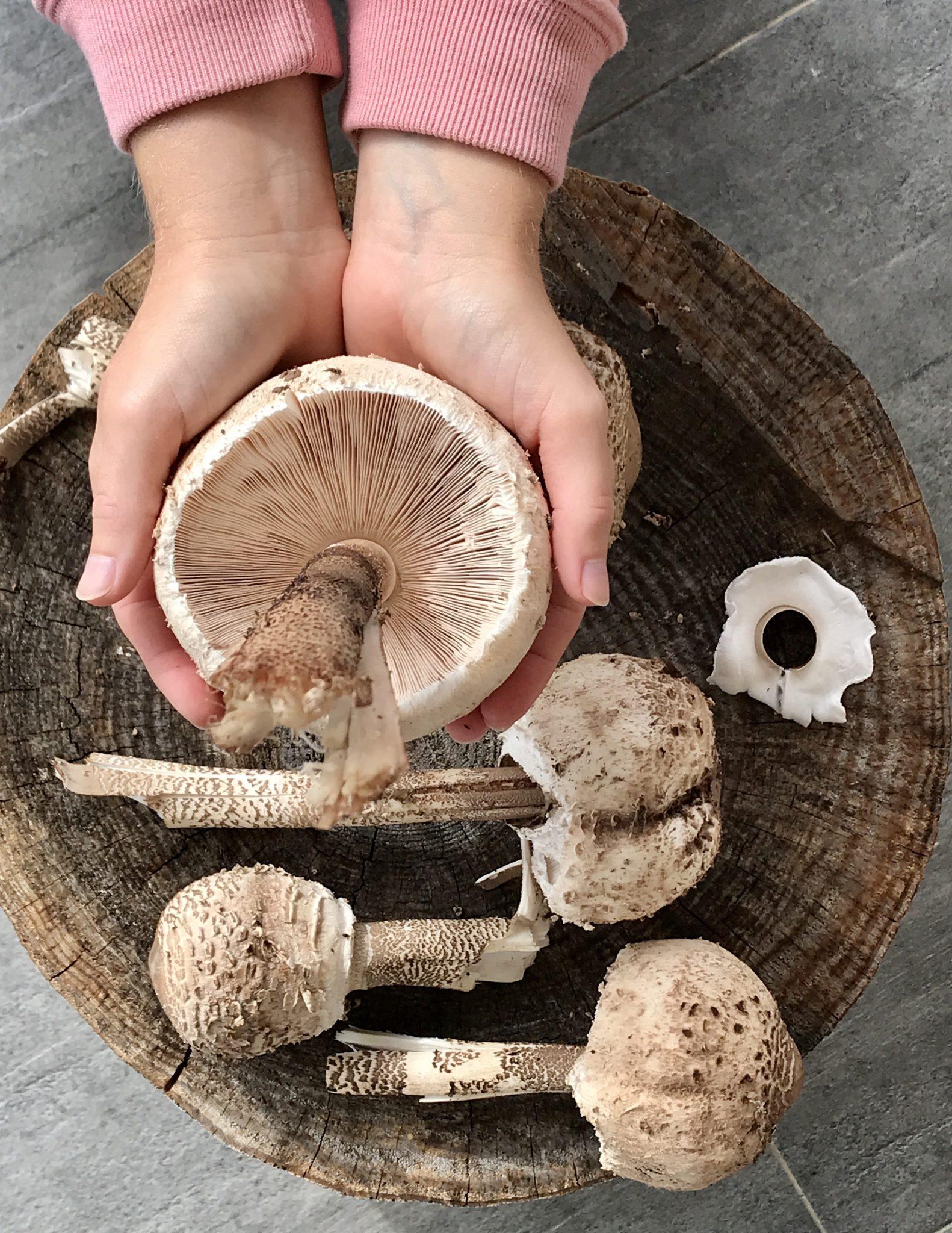 Holding wild singer parasol mushroom